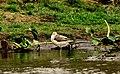 Common greenshank (Tringa nebularia) 5.jpg