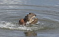 Common hippopotamus, Hippopotamus amphibius, at Letaba, Kruger National Park, South Africa (20226910885).jpg
