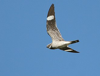 Common nighthawk - In flight showing characteristic white wing bars.