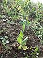 Conringia orientalis sl12.jpg