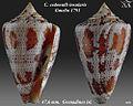Conus cedonulli insularis 1.jpg