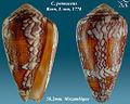 Conus pennaceus 1.jpg