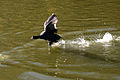 Coot runing over water.jpg
