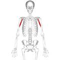 Coracobrachialis muscle01.png