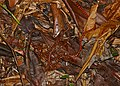 Coral Cylinder Snakes (Anilius scytale) neonate released in the wild ... (40033734045).jpg