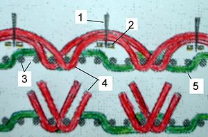 Fustian - Corduroy: This modern diagram shows the warp (3) and the long (red-4) and short (green-5) weft threads; traditionally the knife (1) and the guide (2) are attached and the cutting motion is upwards.