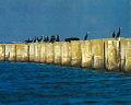 Cormoranes en la PST de Arrocampo.jpg