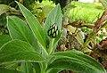 Cornflower bud (27385471664).jpg