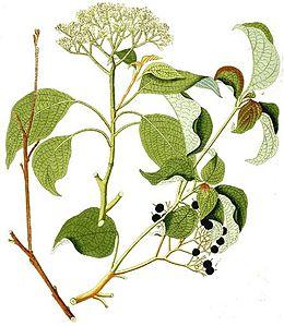 Cornus alternifolia - Krauss