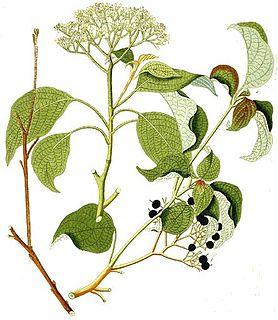 <i>Cornus alternifolia</i> species of plant
