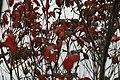 Cornus florida Cherokee Chief 9zz.jpg