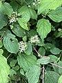 Cornus sanguinea 139542591.jpg