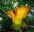 Corpse Flower (Amorphophallus Titanum) 2 of 5.jpg