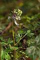 Corydalis solida (Corydale à bulbe plein) 2 - W.Sandras.jpg