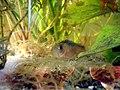 Corydoras zygatus.JPG
