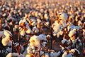 Cotton field kv25.jpg