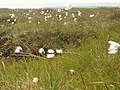 Cottongrass and Cloudberries - geograph.org.uk - 209322.jpg