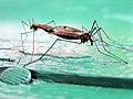 Coupling mosquitos by Igors Jefimovs.jpg