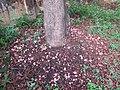 Couroupita guianensis - Cannon Ball Tree at Peravoor (81).jpg
