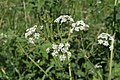 Cow Parsley (probably) - geograph.org.uk - 842573.jpg