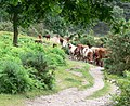 Cows at Kinver Edge, Staffordshire - geograph.org.uk - 848003.jpg