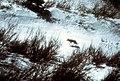 Coyote019 (26867665831).jpg
