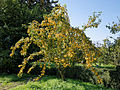 Crab apple at Feeringbury Manor garden, Feering Essex England.jpg