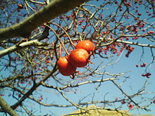 Crataegus pinnatifida fruit (detail), Yongin.jpg