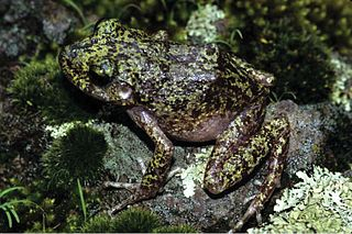 <i>Craugastor tarahumaraensis</i> species of amphibian
