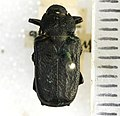 Cremastocheilus angularis Leconte, 1857 - 5451330700.jpg