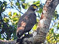 Crested serpent-eagle(young).jpg