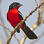 Crimson-breasted Shrike, Laniarius atrococcineus, at Pilanesberg National Park, Northwest Province, South Africa (43247381430)