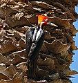 Crimson-crested Woodpecker (Campephilus melanoleucus) male (31458404635).jpg