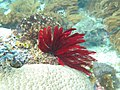 Crinoidea 2.jpg