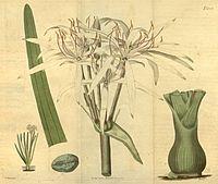 Crinum viviparum