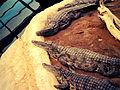 Crocodiles du Nil 3.jpg