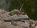 Crocodylus - Crocodiles - Krokodile - 03.jpg