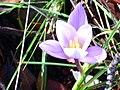 Crocus carpetanus Enfoque 2011-2-20 SierraMadrona.jpg