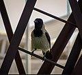 Crow Baku.jpg