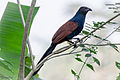 Crow Pheasant or the Greater Coucal.jpg