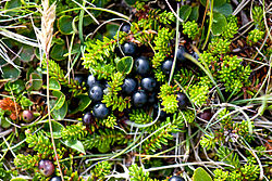 meaning of crowberry