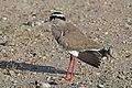 Crowned lapwing (Vanellus coronatus).jpg