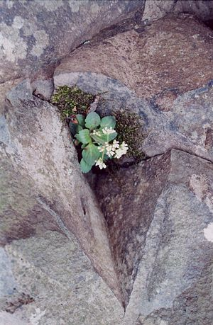 Talcott Mountain - Early Saxifrage sprouting in a trap rock ledge, Talcott Mountain