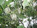 "Cucurbita argyrosperma ""calabaza rayada o cordobesa"" (Florensa) fruto F10 20160309 oidio.JPG"