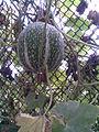 Cucurbitales - Cucurbita ficifolia 2 - 2011.09.02.jpg