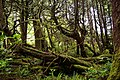 Cupressus nootkatensis Skuna Bay Nootka Island.jpg
