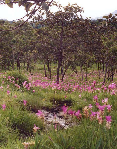 File:Curcuma alismatifolia3.jpg