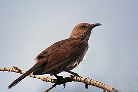 Curve-billed Thrasher.jpg