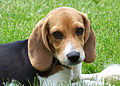 Cute beagle puppy lilly.jpg
