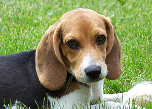 Beagle puppy in grass, sunshine